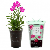 컵안의 작은 정원 컵가든 _ 패랭이꽃