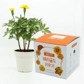 (우리집 정원가꾸기) 꽃집사 - 메리골드 키우기