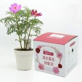 (우리집 정원가꾸기) 꽃집사 - 코스모스 키우기