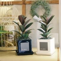 모던 화분 멜라니 고무나무 공기정화식물