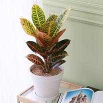 크로톤 중형 마블 화이트화분 공기정화식물