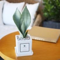 아모르 화분 산세베리아 문샤인 공기정화식물