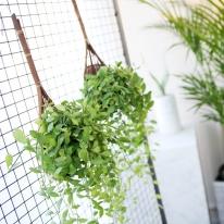 복조리 디시디아 그린 공기정화식물