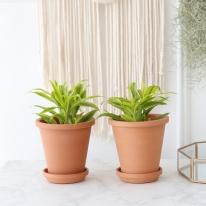 산데리아 식물+토분세트 공기정화식물