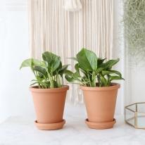 스킨 답서스 식물+토분세트 공기정화식물