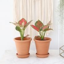 엔젤 식물+토분세트 공기정화식물