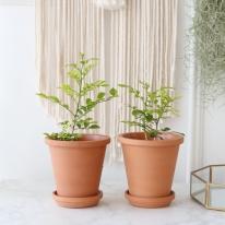 오렌지 자스민 식물+토분세트 공기정화식물