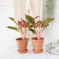 오로라 식물+토분세트 공기정화식물