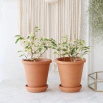 칼라 벤자민 식물+토분세트 공기정화식물