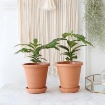 커피나무 식물+토분세트 공기정화식물