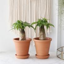 파키라 식물+토분세트 공기정화식물