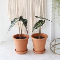 거북 알로카시아 식물+토분세트 공기정화식물