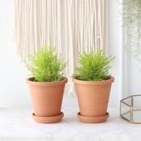 율마 식물+토분세트 공기정화식물