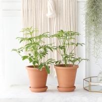 홍콩 야자 식물+토분세트 공기정화식물