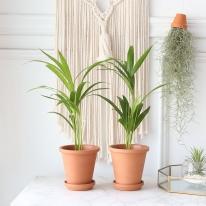 아레카 야자 식물+토분세트 공기정화식물