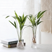 수경재배 아레카야자 공기정화 수중식물